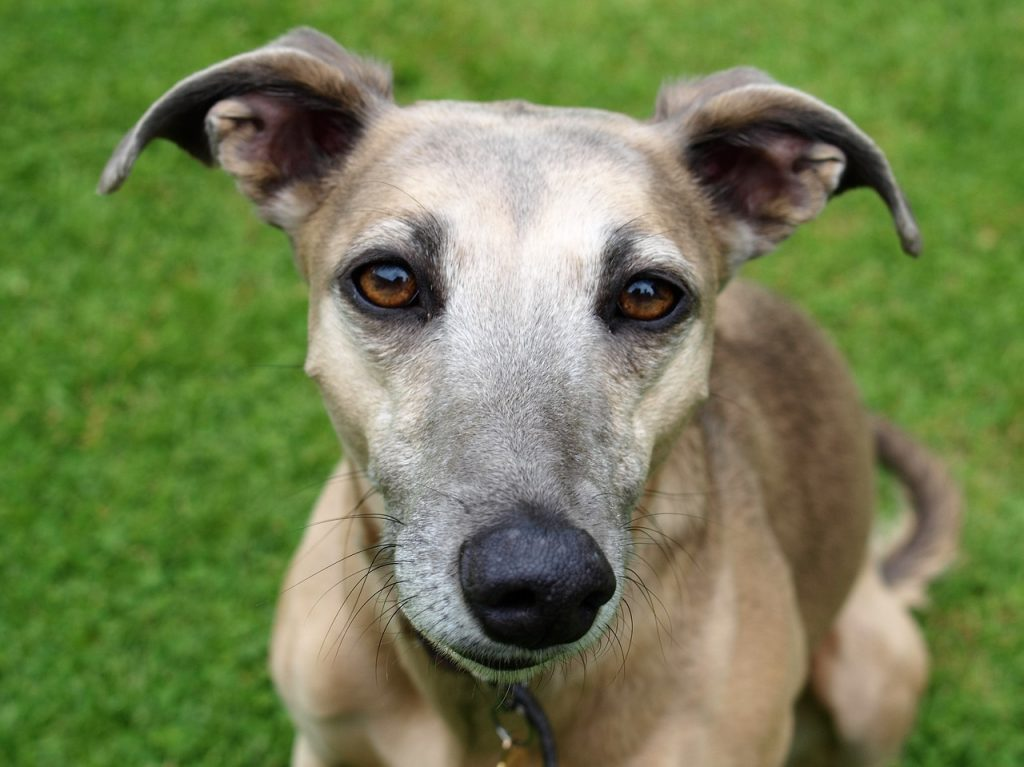 Cornwall Branch of The Retired Greyhound Trust (RGT)